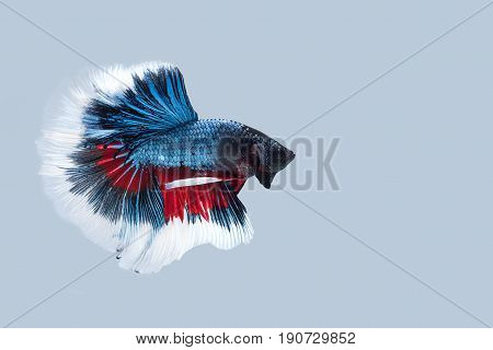 Capture the moving moment of blue white siamese fighting fish on grey background. Dumbo betta fish