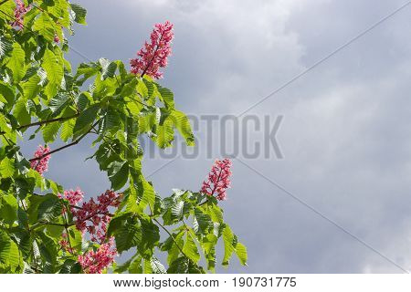 Several branches of blooming red horse-chestnut with flowers against the sky with storm clouds