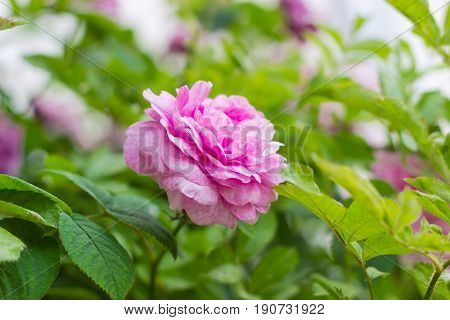 Pink flower of the Bourbon rose on the blurred background of a rose bush