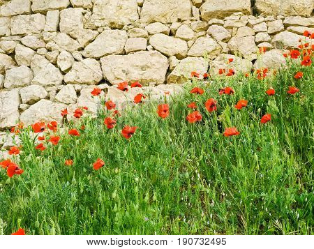 Flowering poppies on the background of the ancient stonework