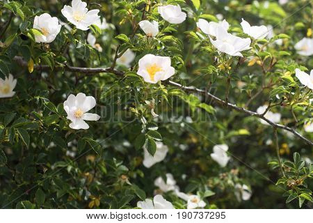 Wild rose of Mount Median Head. Becerril de la Sierra. Madrid's community. Spain