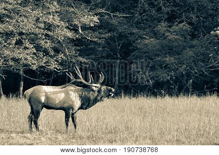 Wild bull elk with huge antlers bugling during rutting season at Cataloochee in the Smoky Mountains of North Carolina