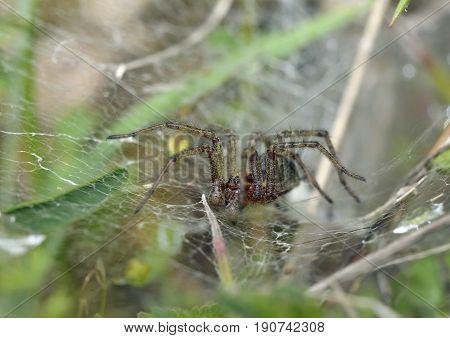 Labyrinth Spider - Agalena labrynthica Grassland Spider in web