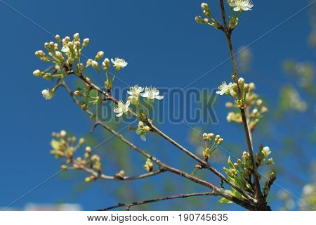 the Blooming cherry orchard white flowers close-up