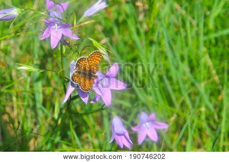 Brenthis daphne, Marbled Fritillary butterfly collecting nectar on wild flowers. Fritillary butterfly in a wild
