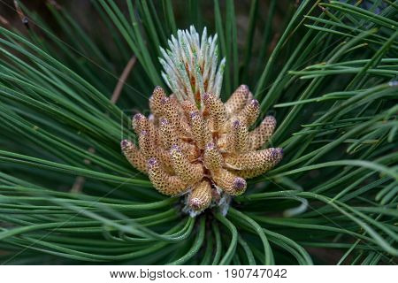 Russia, spring. The miracles that we don't notice...   Pine flower looks like a tropical fruit or sea anemone. Scotch pine, (Pinus sylvestris Watereri), blooming male flowers.