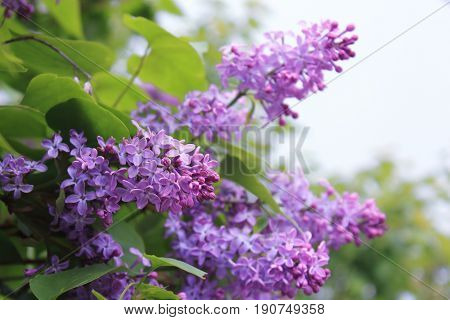 A bouquet of lilacs. Fresh and clear Lilac. Lilac Bush pictures. The lilac Bush in summer after rain. Flowers bright cluster