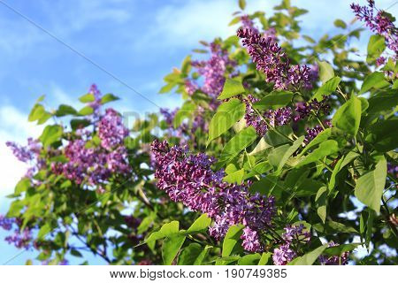 The lilac Bush in summer on sky background. Spring flowers background - spring lilacs flowers in spring blossom against blue sky. Lilac Bush pictures. A bouquet of lilacs. Flowers bright cluster