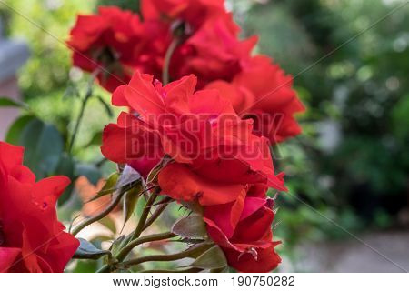 Red 'just Joey' Rose Grown At Greenhouse