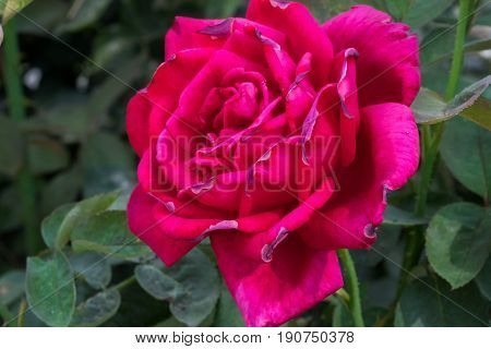 Pink 'just Joey' Rose Grown At Greenhouse