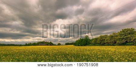 rapeseed field beautiful landscape full of yellow blooming rapeseed flowers in a dramatic cloudy spring day