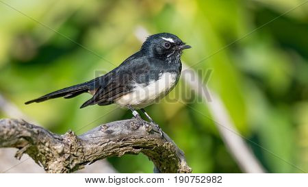 The Willie Wagtail (Rhipidura leucophrys) is one of Australia's most widespread bird species. It is also found in New Guinea, the Solomon Islands, the Bismarck Archipelago and Indonesia.