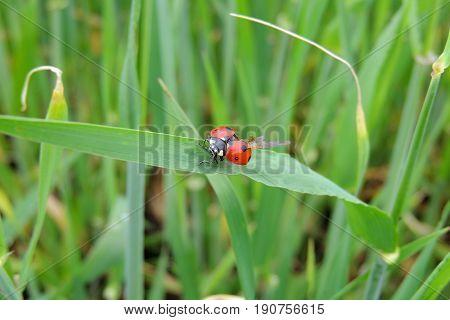 Ladybug On The Grass