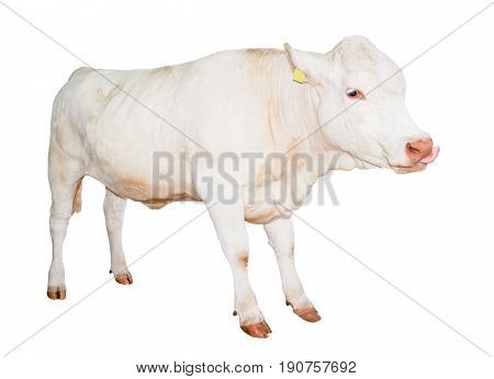 Beautiful young white cow isolated on white background. Cow full length. Farm animals. Beef cattle isolated on white.