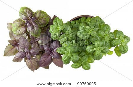 Basil herb herb growing in flowerpot  isolated on white background cutout. Top view.