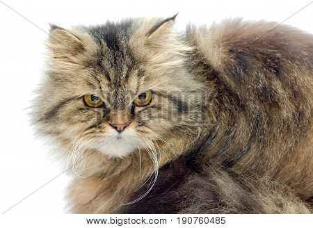 Female crossbreed of siberian and persian cat on a white background looking seriously.