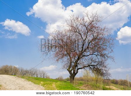 Lonely branchy apricot tree beside roadside just before a flowering time.