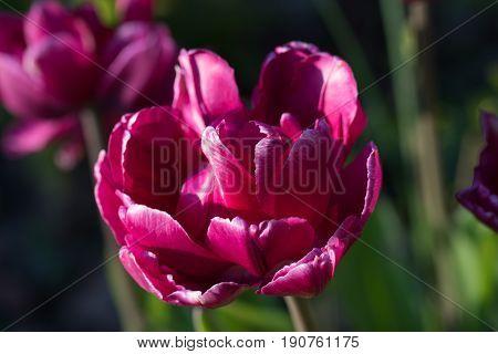 Red sunlit shiny tulip head close up
