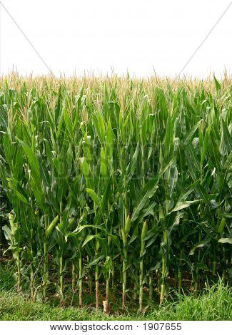 Growing Corn