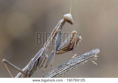 A close-up portrait of a mantis Iris oratoria