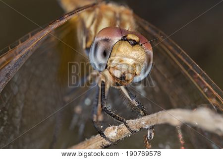 A beautiful dragonfly close portrait in the field