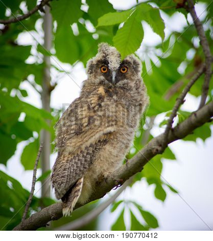 Grey owl in the forest