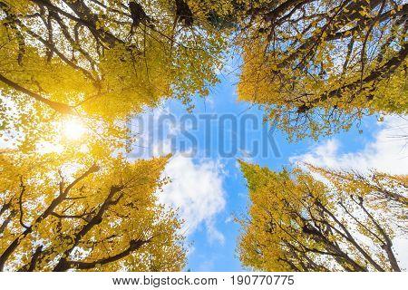 Ginkgo Biloba trees in autumn Maidenhair trees in autumn at Japan
