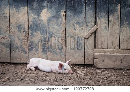 A pig rests at the historic Longstreet Farm in Holmdel New Jersey.