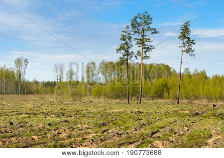 Three pine in the field with free space around. Deforestation zone.