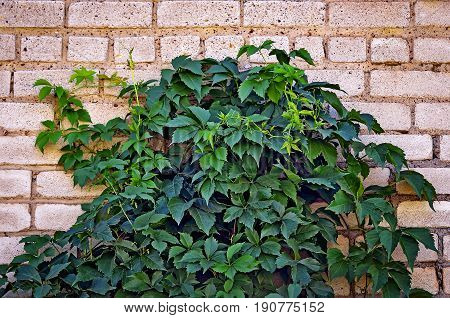Liana. Girlish grapes, a climbing plant with Green leaves against a brick wall background