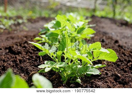 Green potato plant. Leaf of vegetable. Organic food agriculture in garden, field or farm. Rural nature in summer. Natural outdoor background close up