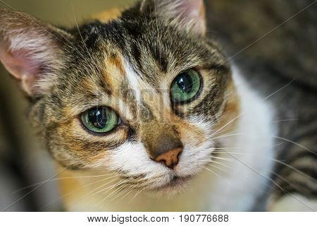 Horizontal closeup photo of a calico cat's face with bright green eyes