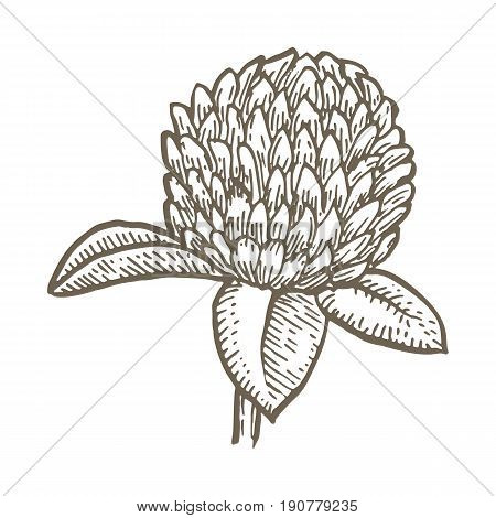 clover flower isolated on white background. Simple botanical illustrations set. Hand drawn sketch of a Trifolium
