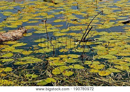 Lily pads and aquatic plants in a slow moving river