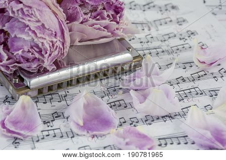 Withered pink peonies with harmonica are on the musical notes with many petals