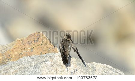 Rough-winged Swallow grooming itself on a rocky perch