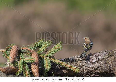 Single female chaffinch resting on branch