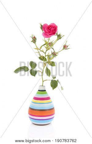 Pink rose in modern striped vase isolated over white background