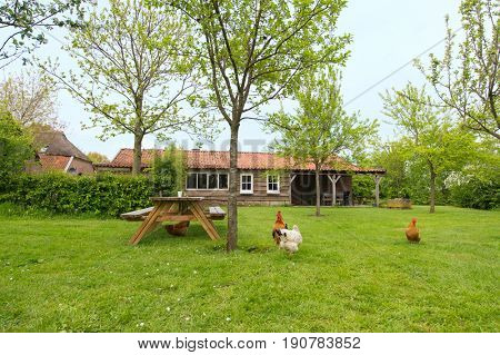 Range chickens at the farm