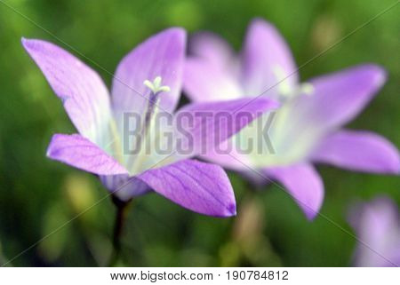 Blured background with violet bell flower campanula on the green, the bloom in spring as a macro shot, selected focus, very narrow depth of field