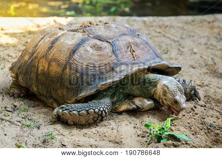 Close-up detail of a African spurred tortoise (Centrochelys sulcata) feeding on vegetables in a metal tray. Animals and conservation concept.