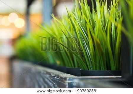 Fresh green wheat grass in a pot