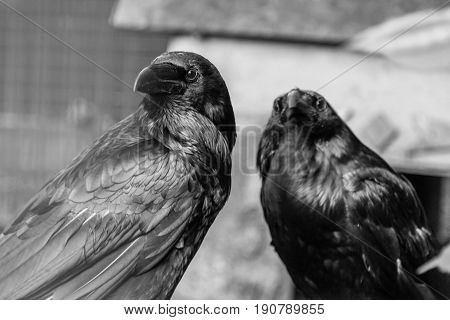 Beautiful Black Crows Sit On A Stump