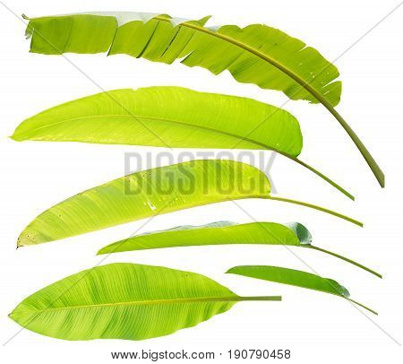 Banana leaves and galangal leaves isolate set on white background