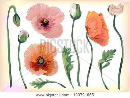Vintage poppy beautiful soft flowers peach red pink buttons leaves botanical pastel blooming floral fine spring may garden wedding design watercolor style elements illustration set scrap booking art