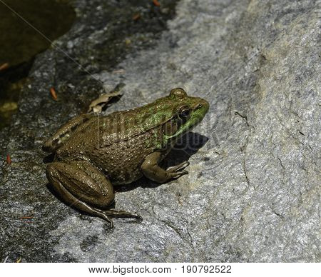 A Northern Green Frog (Rana clamitans melanota) basking on a sunny rock, shown in right profile and from above.  Photographed in Carroll County Maryland, USA.