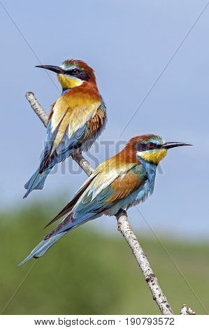 Bee-eaters Sitting On A Branch