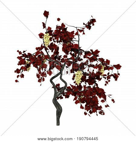 3D Rendering Grapevine Plant On White