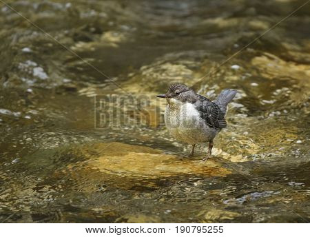 White Throated Dipper In The Water