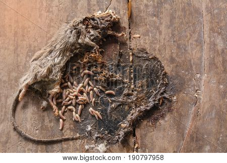 Dead gray and white mouse with maggots in body of mouse on wooden ground.